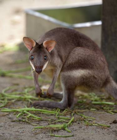 stares: Red-legged pademelon forest kangaroo stares at camera