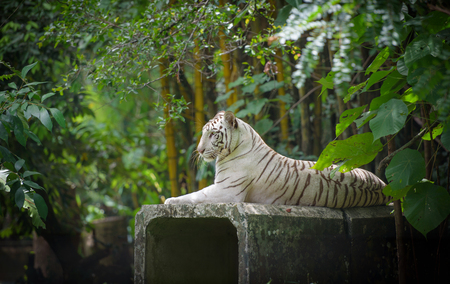 bengal: White Bengal tiger resting Stock Photo