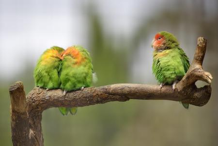 lovebirds: Three lovebirds on a branch