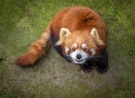 bearcat: Red panda looking up