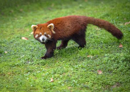 bearcat: Red panda looks at camera