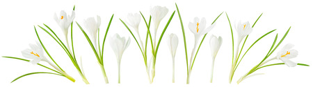 Isolated spring flowers. Collection of blooming white crocus (saffron) isolated on white background with clipping path