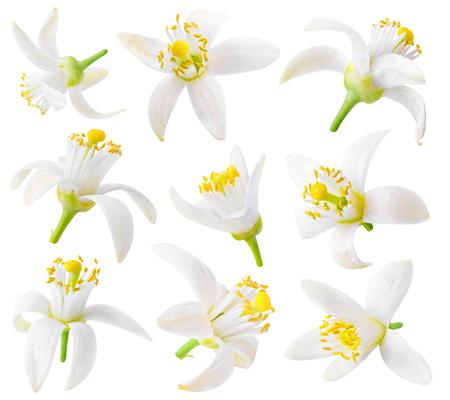 Fleurs oranges isolées. Collection de fleurs d'oranger isolé sur fond blanc Banque d'images