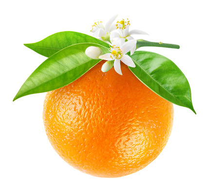 Isolated orange fruit on a branch. Hanging orange fruit with flowers and leaves isolated on white background