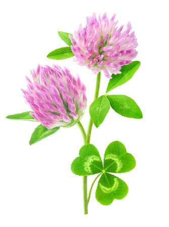 Isolated flower. Pink clover with stem and leaves isolated on white background 写真素材