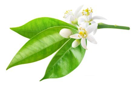 Isolated orange blossom. Branch of orange tree with flowers and leaves isolated on white background