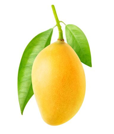 Eine gelbe Mangofrucht hängt an einem Ast mit Blättern isoliert auf weißem Hintergrund Standard-Bild