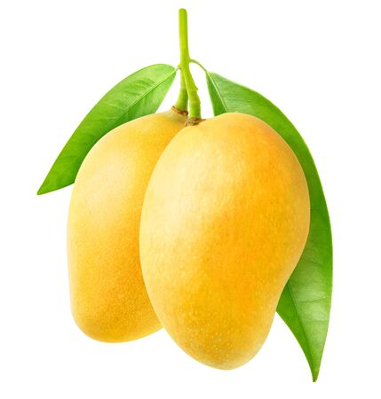 Isolated mango. Two yellow mango fruit hanging on a tree branch isolated on white background
