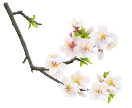 Isolated blooming almond. Branch of almond tree in spring with white almond blossoms and leaves buds isolated on white background