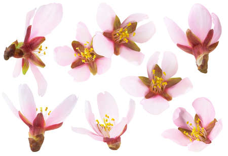 Isolated almond flowers. Collection of pink almond tree blossoms of different shapes isolated on white background 写真素材
