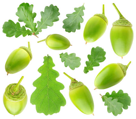 Collection of summer green oak tree leaves and acorns isolated on white background