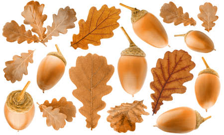 Collection of autumn brown oak tree leaves and ripe acorns isolated on white background