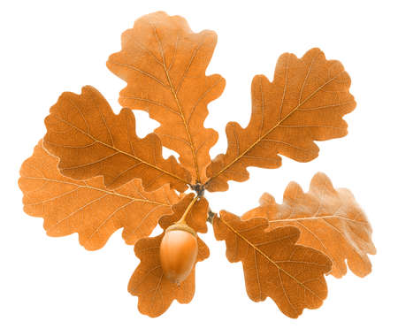 Autumn oak tree branch with light brown leaves and acorn isolated on white background