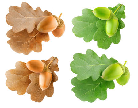 Isolated oak tree branchlets. Summer and autumn oak tree leaves and acorns isolated collection on white background