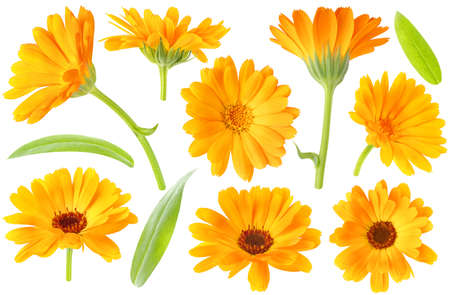 Collection of calendula (marigold) plant flowers and leaves isolated on white background