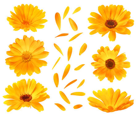Collection of calendula (marigold) flower heads and petals isolated on white background