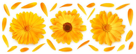 Three calendula (marigold) flower heads in a row and petals isolated on white background 写真素材