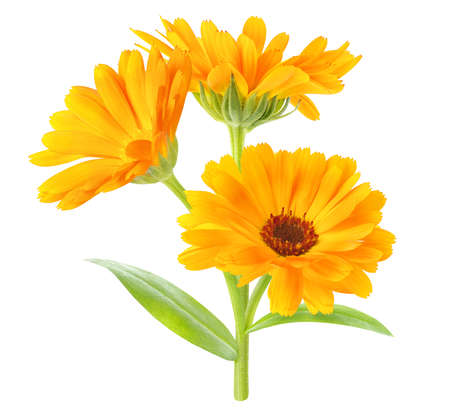 Calendula officinalis (marigold) plant with flowers and leaves isolated on white background 写真素材