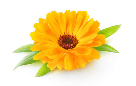 One flower head of calendula (marigold) with leaves isolated on white background