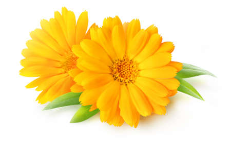 Two calendula blossoms (marigold flowers) isolated on white background