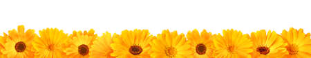 Isolated calendula blossoms in a row, panorama on white background