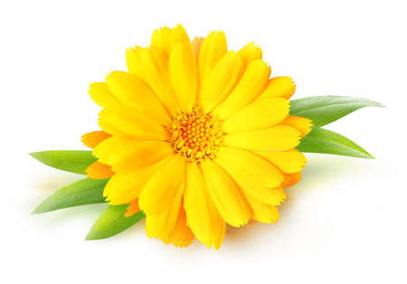 One calendula (marigold) flower isolated on white background 写真素材