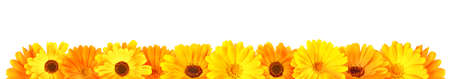 Calendula flowers in a row, isolated panorama on white background