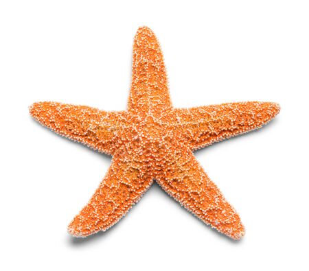 Sinlge Real Orange Starfish Isolated on White Background.