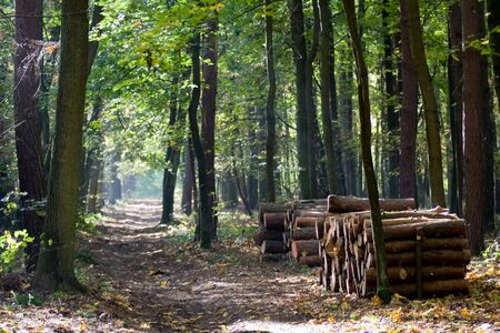 pedicel: Path in woodland between high trees and wood storage. Stock Photo