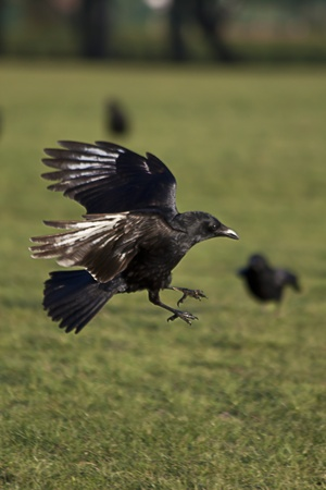 black crows  flying in the park Stock Photo
