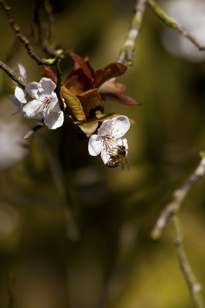 A Bee hovering while collecting pollen from apple blossom photo