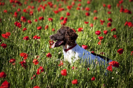 worcestershire: dog on the beautuful poppy field