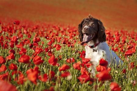 dog days: perro posando en el hermoso campo de amapolas