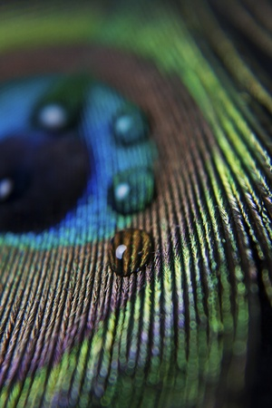 close up of the colorful peacock feather and droplets