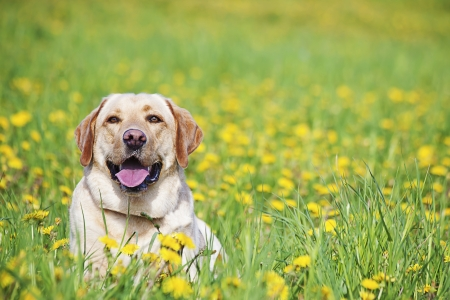 a yellow labrador cheering in the meadow Stock Photo