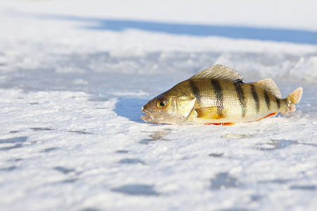 perch caught on the ice rod in the winter scene photo