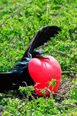 frigate: galapgagos island red throated frigate birds during mating season
