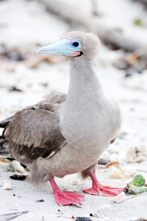 natural selection: a galapagos island endangered red footed boobies