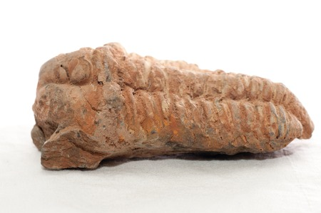 devonian: trilobite stone fossil sample with ridges and detail