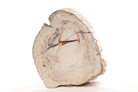 petrified fossil: petrified wood mineral fossil sample cross section showing tree rings
