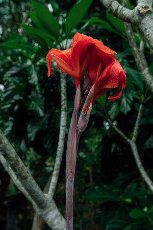 anthers: Red flower in a wet jungle during the rainy season.
