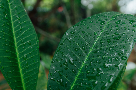 jade plant: Green wet leaves in the jungle during the rainy season Stock Photo