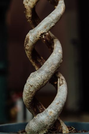Ficus Benjamin double helix trunk. 写真素材