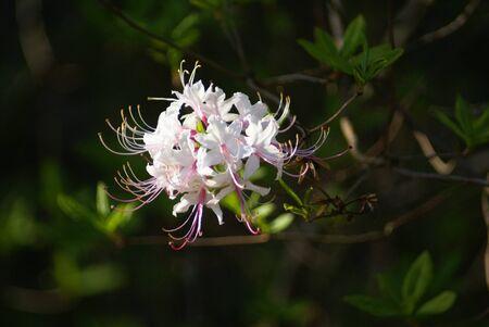 honeysuckle: Pink Honeysuckle
