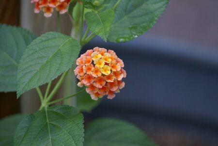 lantana: OrangeYellow Lantana