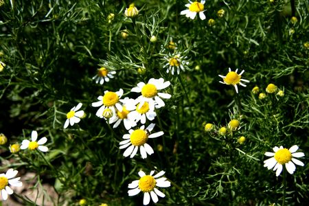 herbage: Camomile