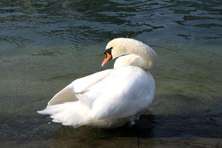 crick: Swan Archivio Fotografico