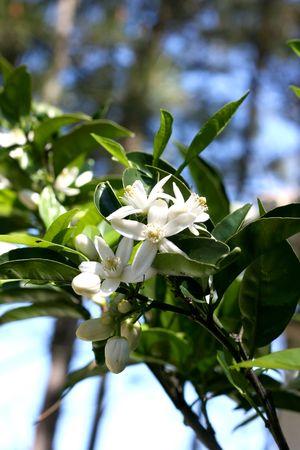 citrus aurantium: Blossom at orange-tree