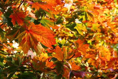 Bright yellow-red maple leaves in early fall. Colorful tree crown golden in autumn
