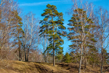 Green pines among birches in early spring Stock Photo